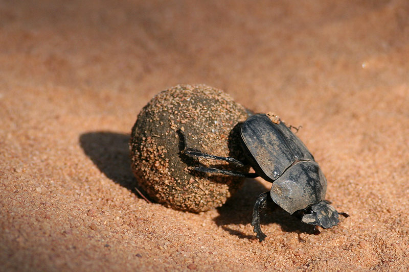 D-Beetle2