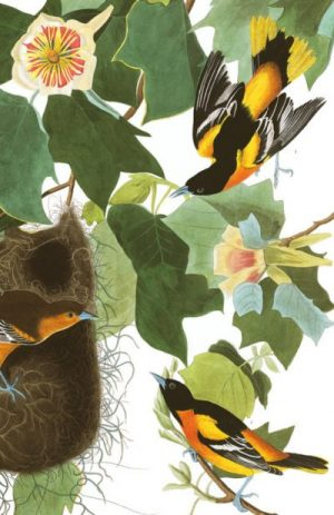 oriole audubon